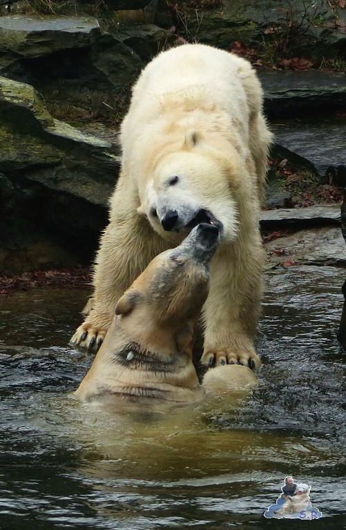 Tierpark Berlin Eisbären 20.12.2014 143