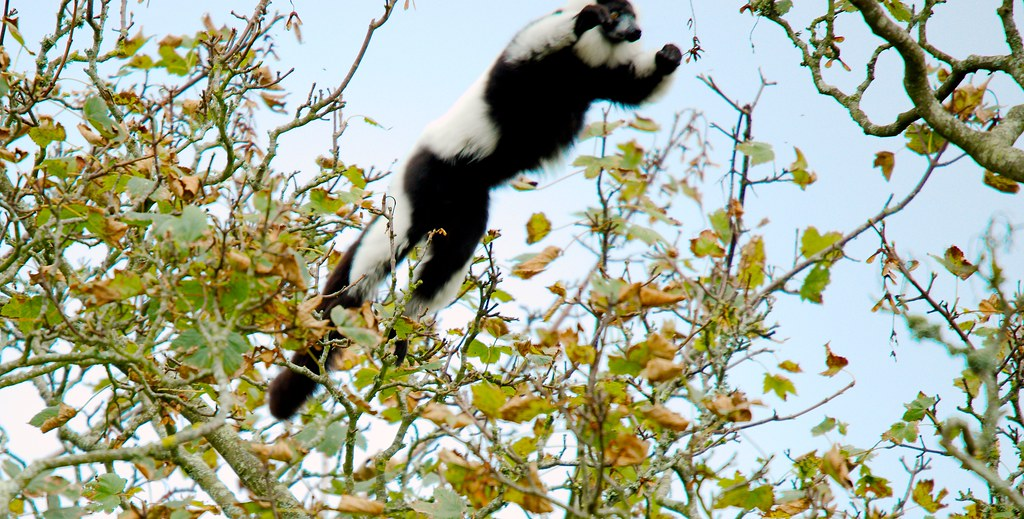 Black and White Ruffed Lemur (Varecia variegata variegata)_1