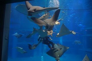 101 Osaka aquarium - voeren pijlstaartroggen