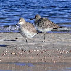 cinclidae(0.0), european herring gull(0.0), gull(0.0), animal(1.0), charadriiformes(1.0), wing(1.0), sea(1.0), fauna(1.0), red backed sandpiper(1.0), redshank(1.0), calidrid(1.0), sandpiper(1.0), beak(1.0), bird(1.0), seabird(1.0), wildlife(1.0),