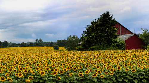 sunflowerwallpaper