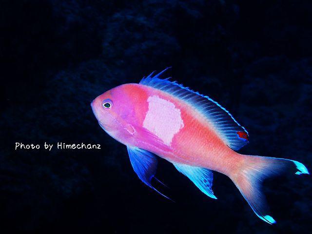 スミレナガハナダイ雄の通常色。隈取なし。