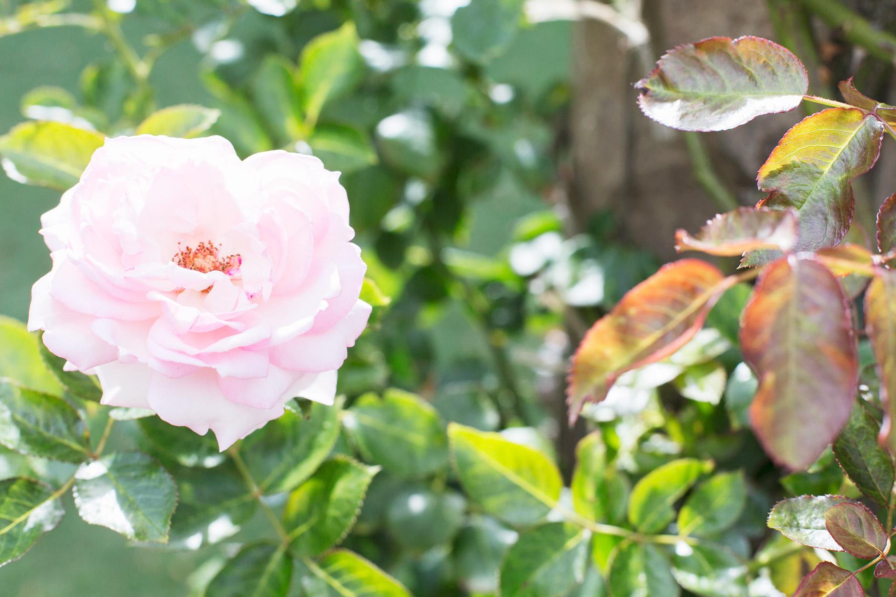 Rose garden in Sydney photo by Carin Olsson (Paris in Four Months)