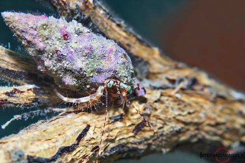 Pagurus Anachoretus on a Tree