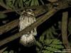 Sunda Scops Owl_Adult