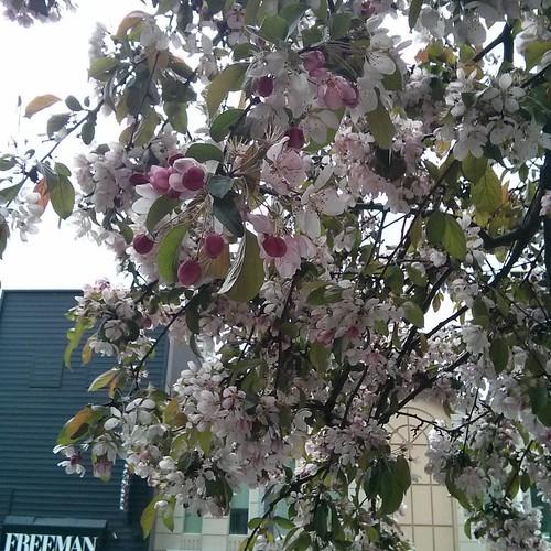 Sakura outside of Tim Hortons, 3 #toronto #yongestreet #wellesleystreet #timhortons #cherryblossom #sakura