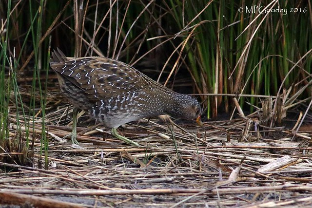 Spotted Crake (M.Goodey)