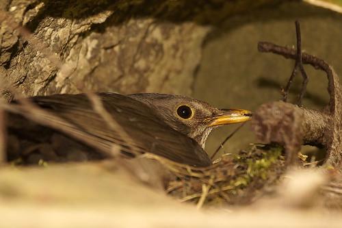A nesting blackbird