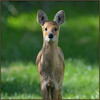 Chinese Water Deer (image 2 of 3)