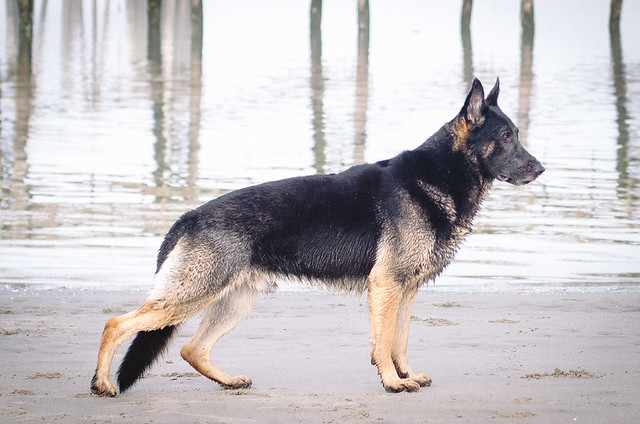 german shepherd stance stacking german shepherd dog forums 3181