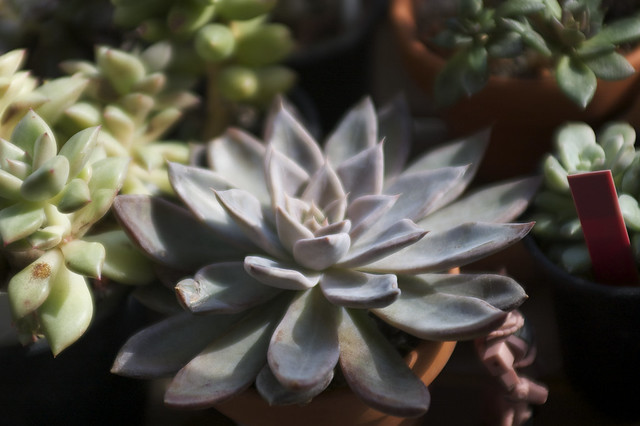 "Echeveria ""affinis grey form""('Silver Queen')"