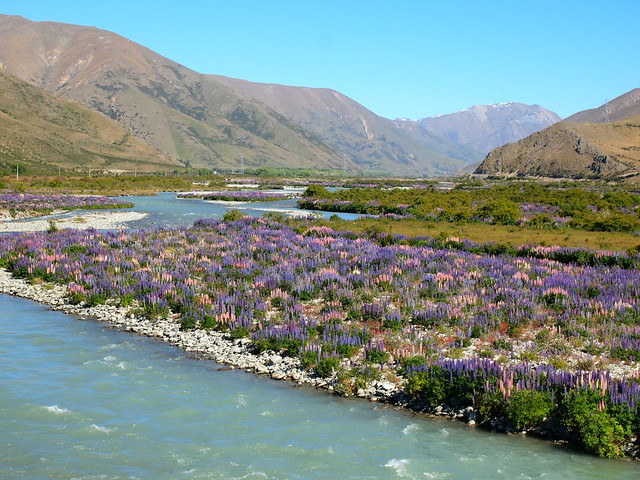 Lupins along the Ahuriri River in New Zealand