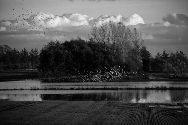 Birds and Flooded Fields