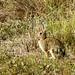 Un conill a la vista / Wild rabbit