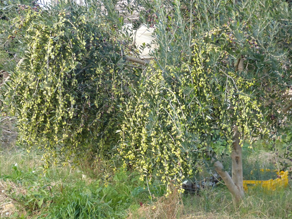 Les oliviers au moment de la récolte