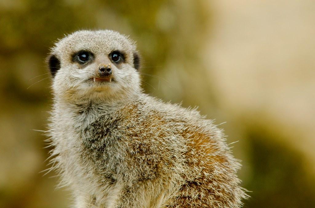 Meerkat (Suricata suricatta)_23