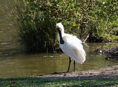 stork(0.0), great egret(0.0), heron(0.0), egret(0.0), wetland(1.0), animal(1.0), nature(1.0), fauna(1.0), ciconiiformes(1.0), beak(1.0), bird(1.0), wildlife(1.0),