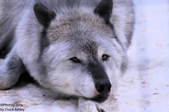 Silver Wolf Eye Contact W_8330