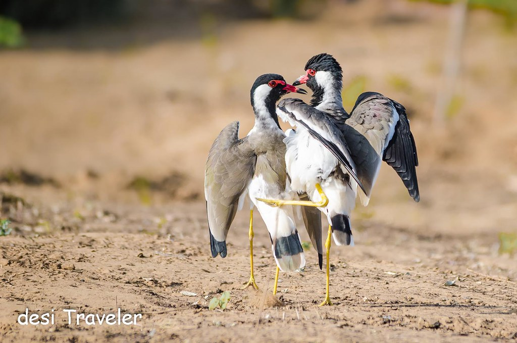 Red Wattled Lapwing courtship dance mating behaviour