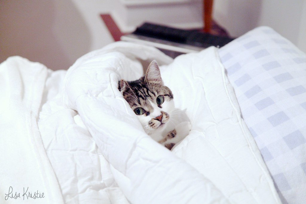 cat tucked into bed sheets comforter cute funny adorable