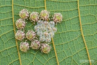 Stink bug hatchlings (Pentatomidae) - DSC_0181
