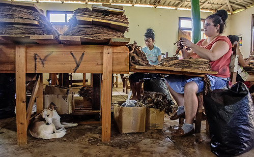 ladies (and dog) in a Cuban cigar factory