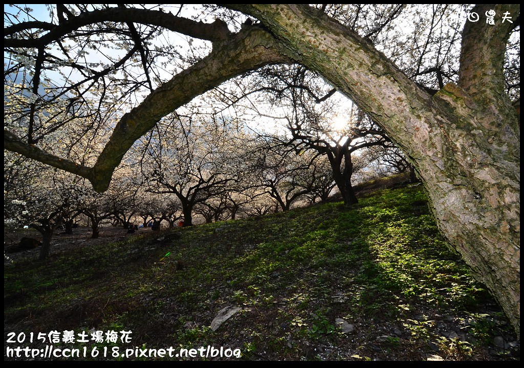 2015信義土場梅花DSC_9317