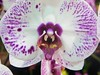 Screaming Orchid @CairnsShow