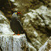Small photo of Inca Tern - Paracas