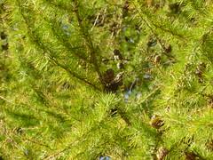 larch, flower, branch, leaf, tree, flora, green, vegetation, temperate coniferous forest, spruce,