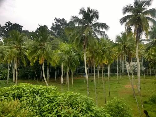 kerala coconutpalm green neyyatinkara