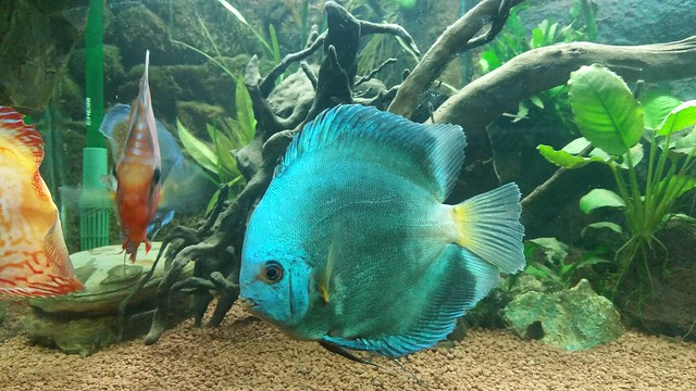 My New Discus Fish.