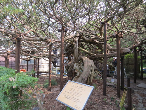 Juniperus chinensis - this tree is more than 700 years old