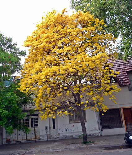 lapacho amarillo 1