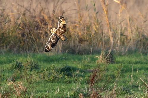 bird somerset owl wwt asio shorteared flammeus steartmarshes
