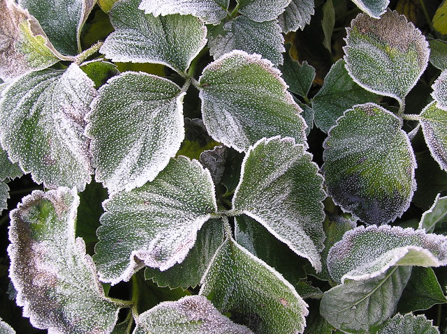 Fragaria × ananassa