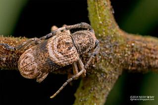 Longhorn beetle (Mispila curvilinea) - DSC_9759