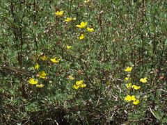 bush cinquefoil, Dasiphora fruticosa