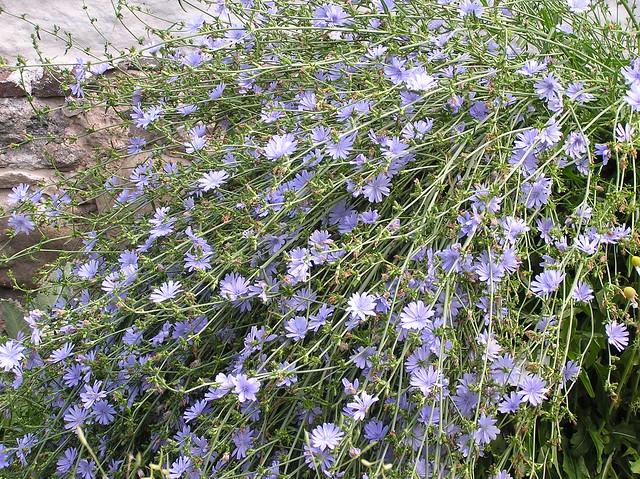 Tartu BG Herb Garden, Cichorium intybus