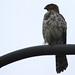 Falcon in DC