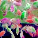 #pouchie153 #heresyourpizza #pets #pet #koi #fish #koifish