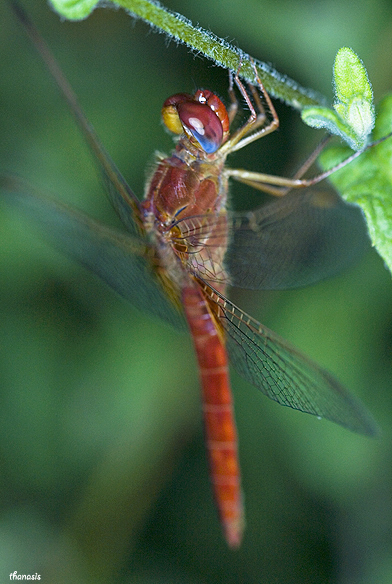 Scarlet Dragonfly male