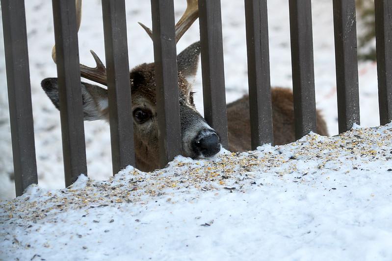 clever deer5