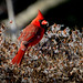 Northern Cardinal by jt893x