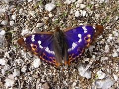 Petit mars changeant - Lesser Purple Emperor