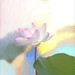 Lotus Flower Oil Paintings / Lotus flower oil Painting / Photographic images using Akvis Oil Paint Filter by Bahman Farzad