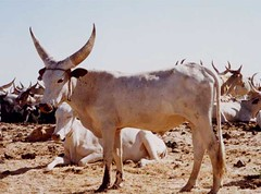 화, 01/20/2015 - 04:18 - Species name: Cattle (photo credit: ILRI).
