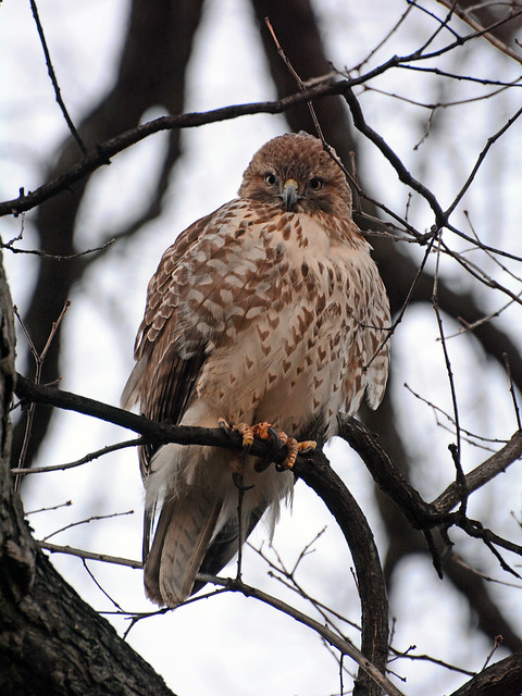 Juvenile Red-Tail - 4535