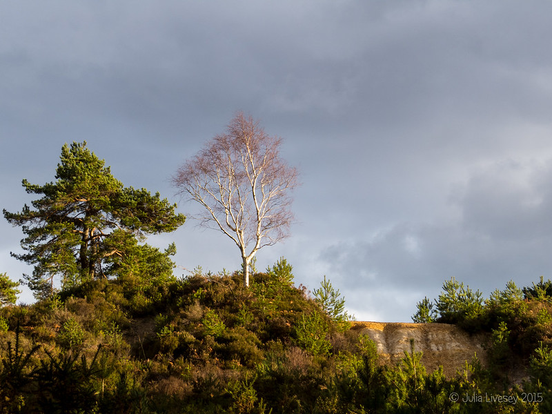 Silver birch in the sunlight