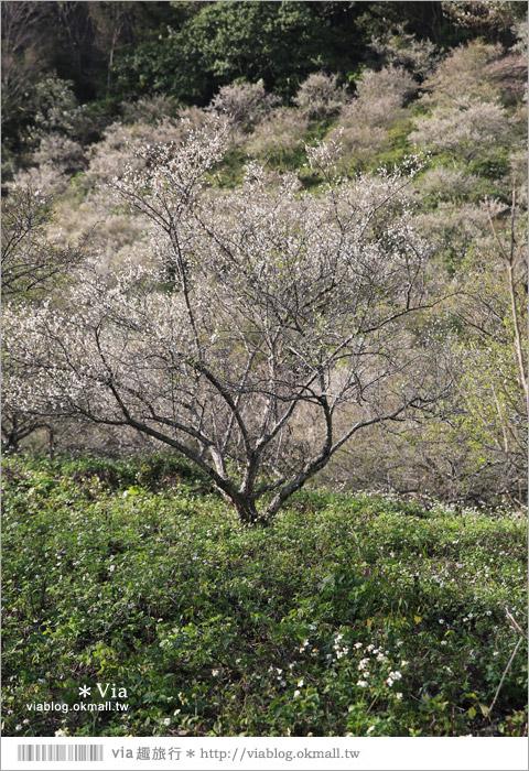 【南投梅花秘境】仁愛鄉「西伯梅園」~和互助國小梅園來個賞梅一日遊8